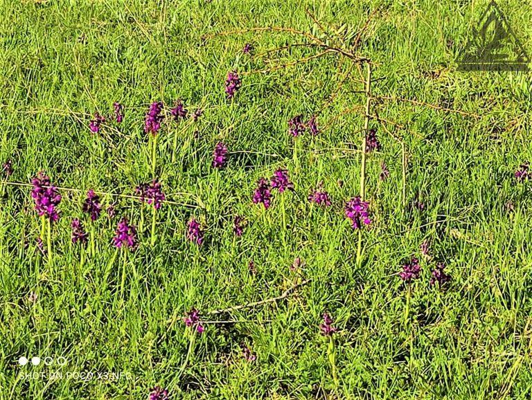 12 Orchis morio - populacija - Ličko polje