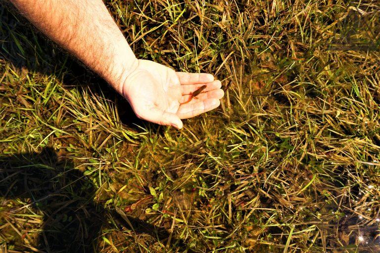20 Lissotriton vulgaris (mali vodenjak) - Ličko polje
